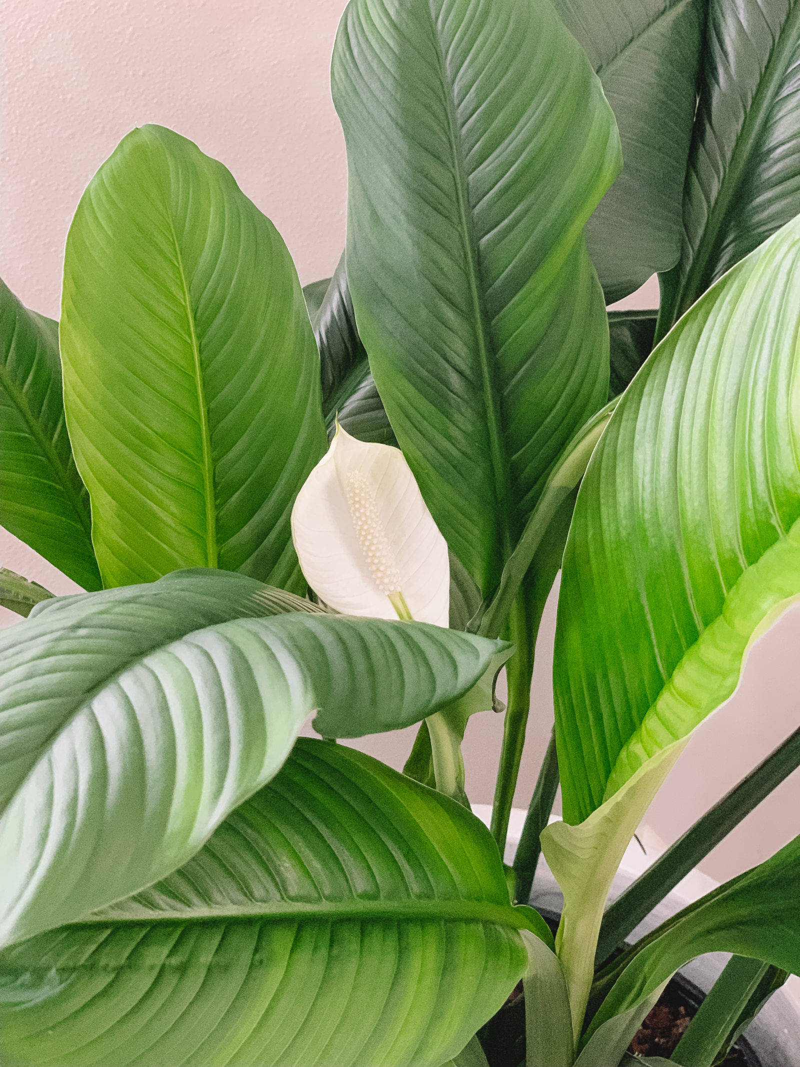 Indoor Plants That Clean The Air And Remove Toxins Gypsy Tan Peace Lily